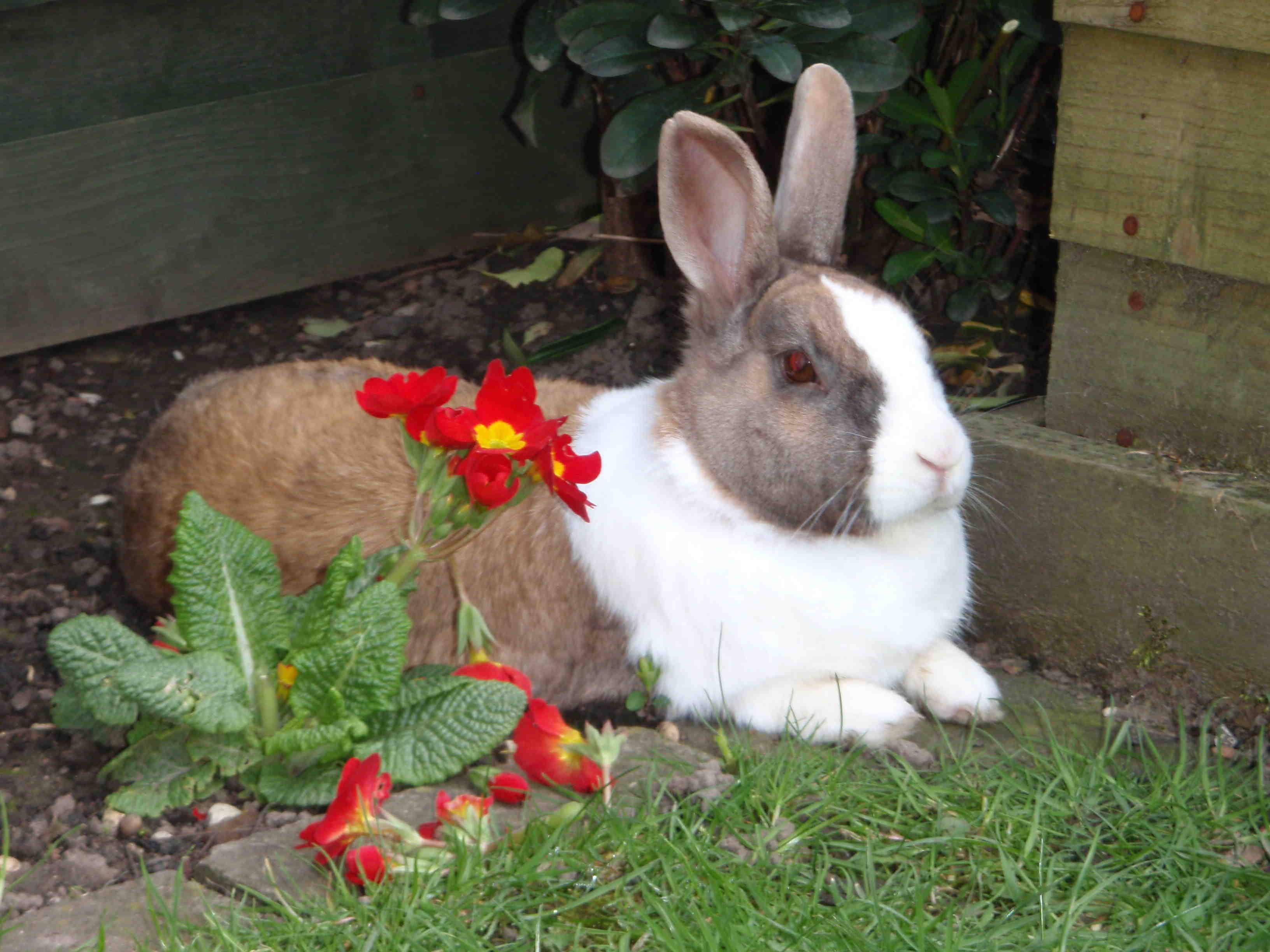 Rabbit sitting next to a red flower
